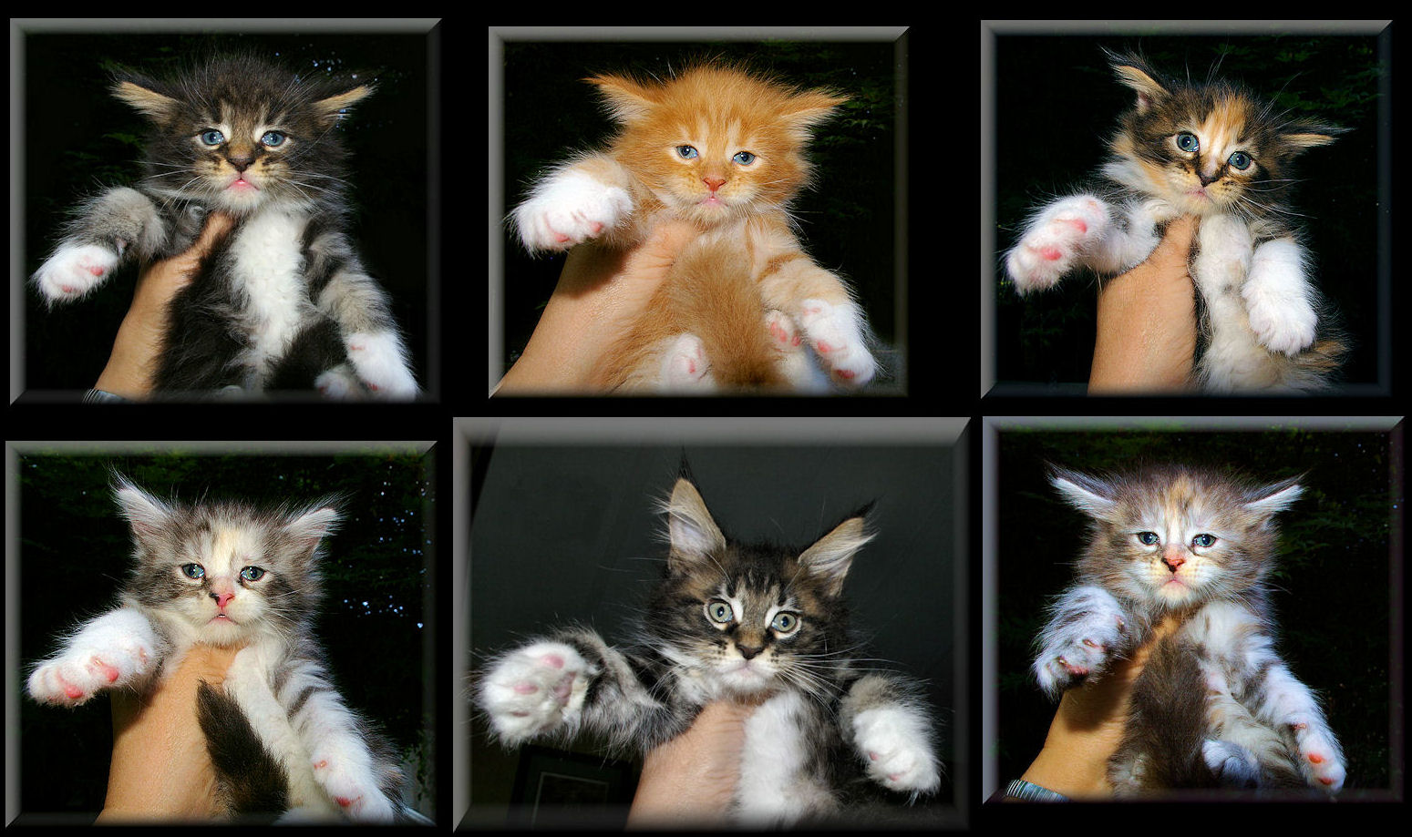 Wel e to our Gallery of Maine Coon Kitens