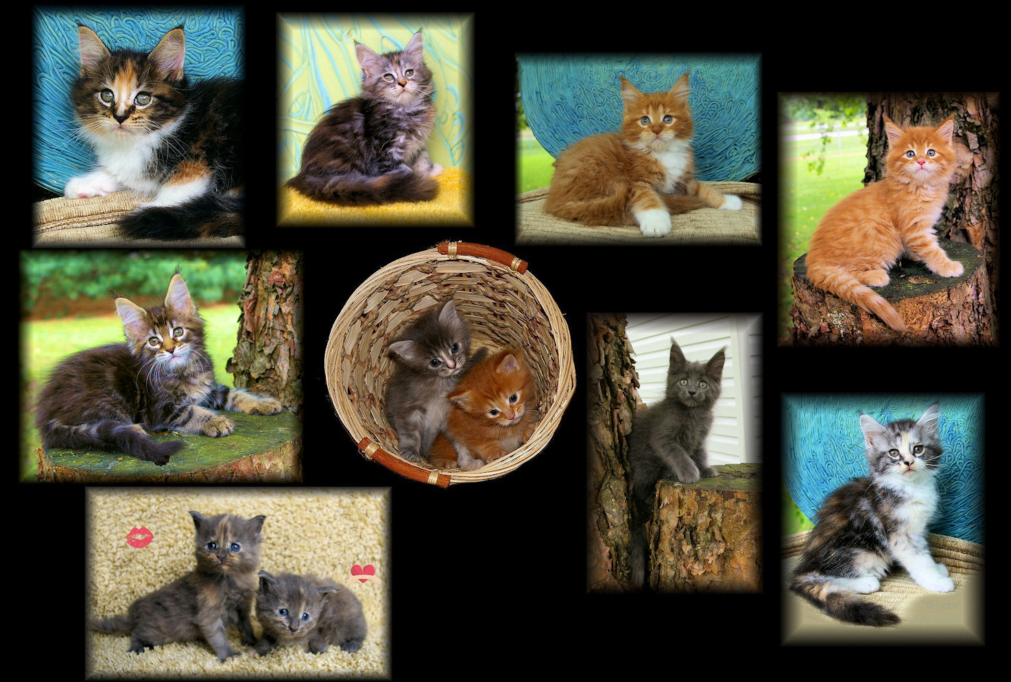 pictures of maine coon kittens from congocoon cattery