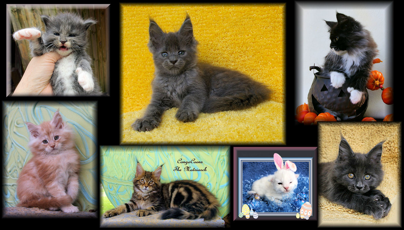 pictures of maine coon kittens in many colors