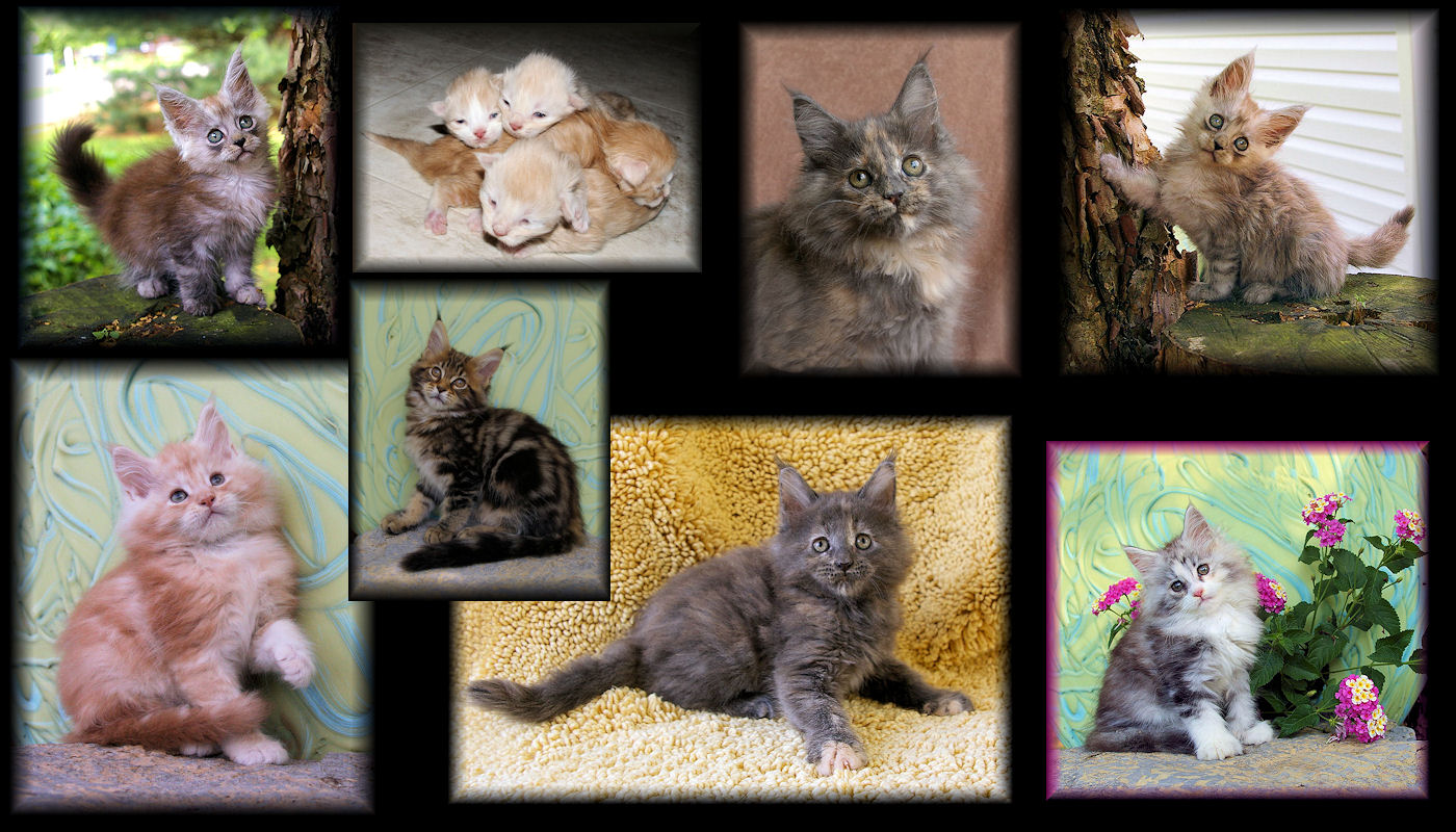 images of maine coon kittens