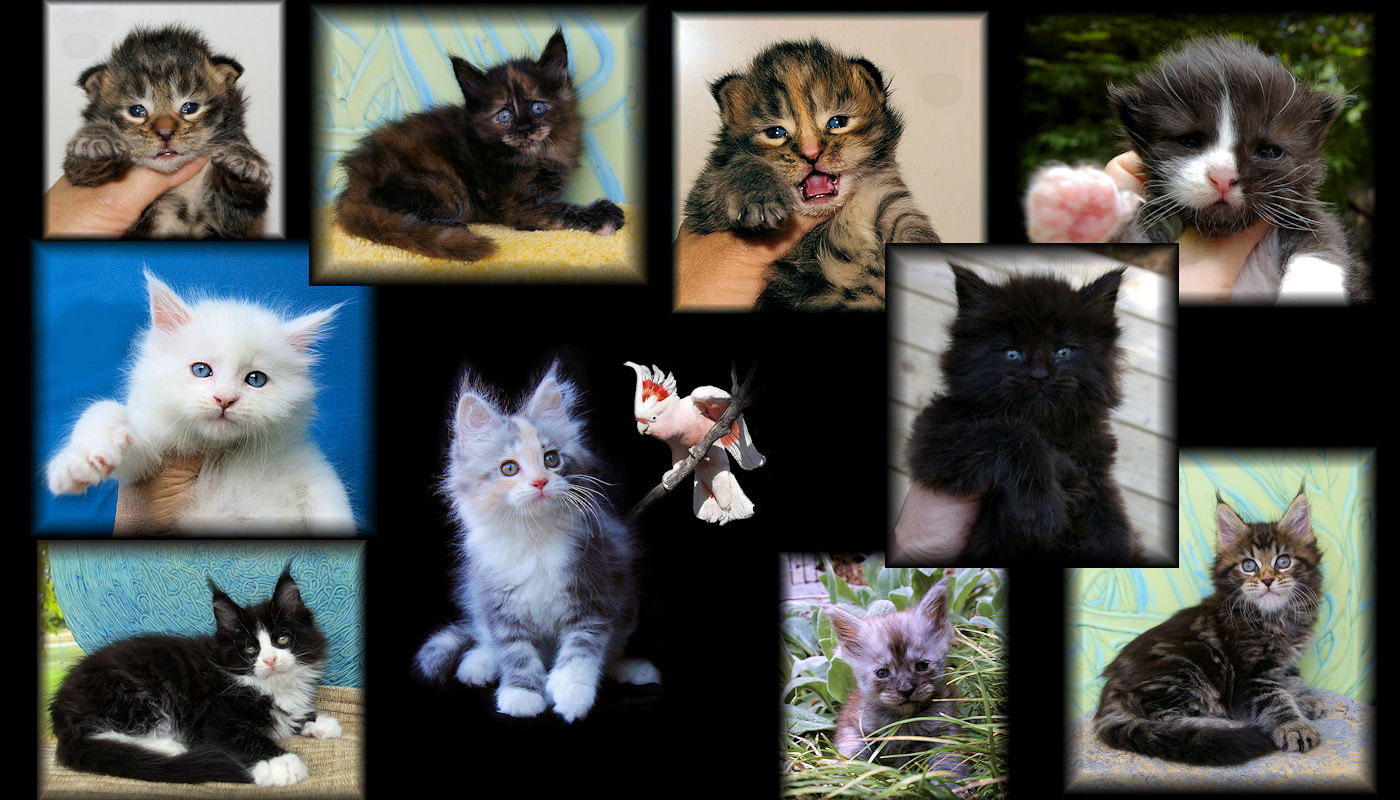 pictues of many maine coon kittens