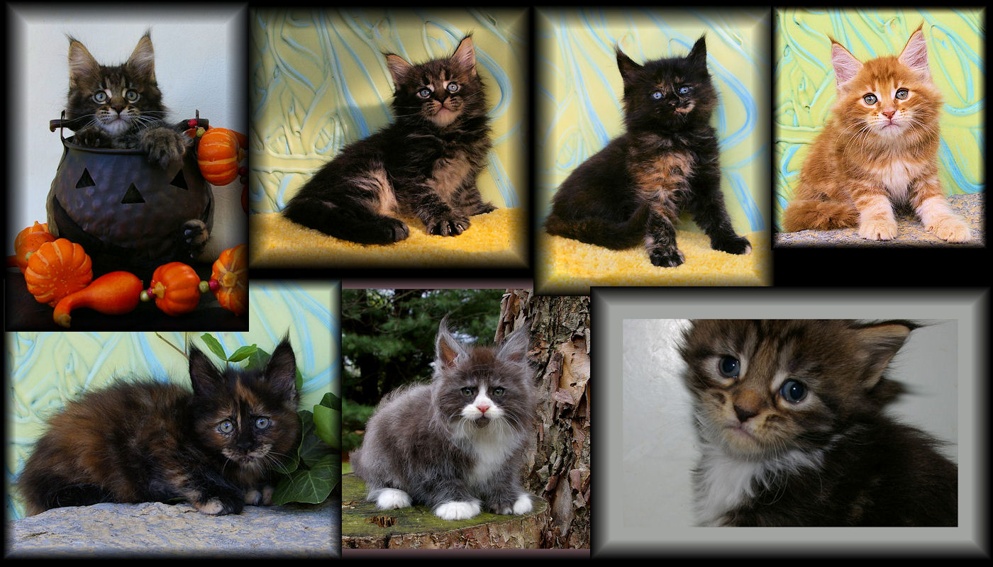 images of congocoon kittens