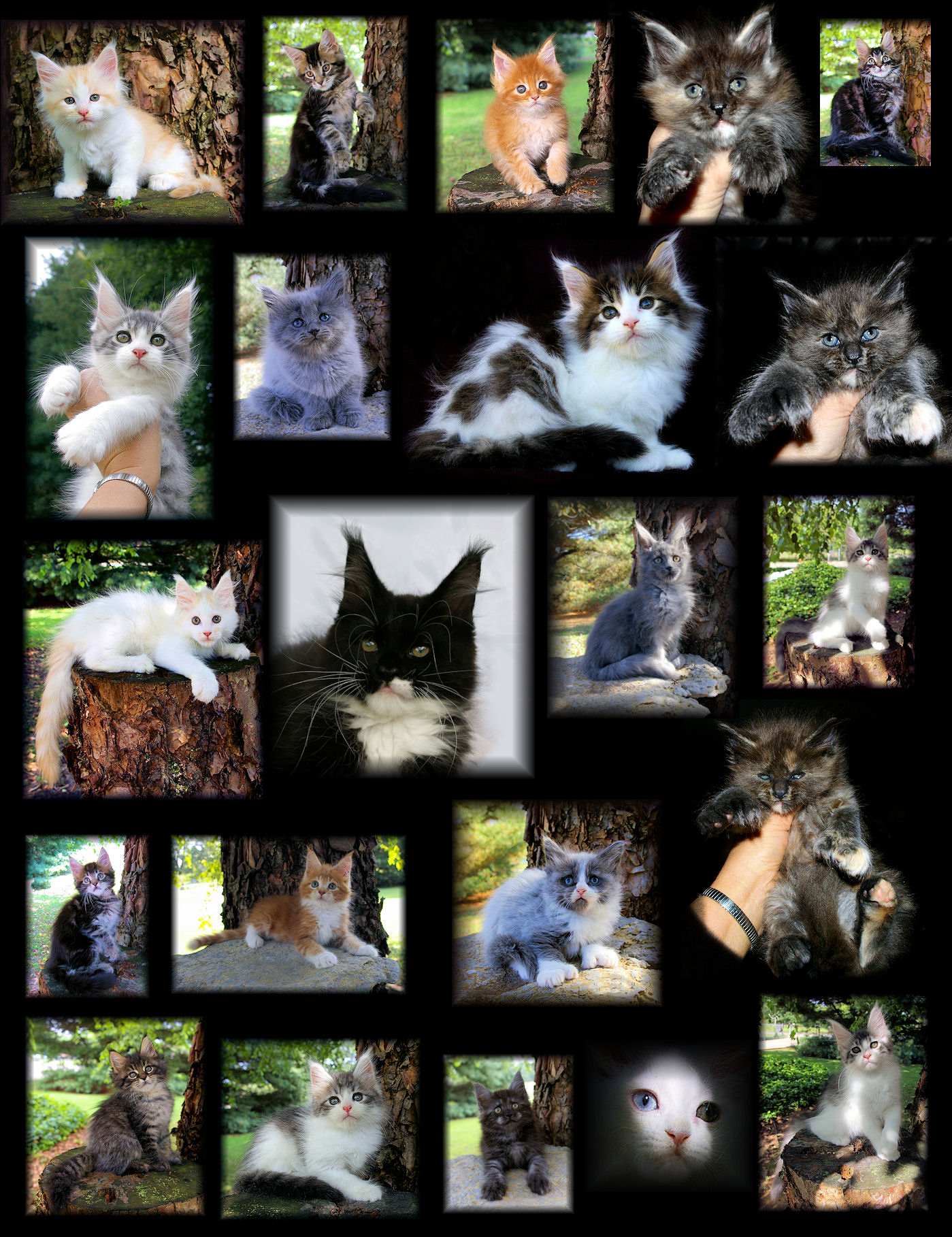 images of coon kittens