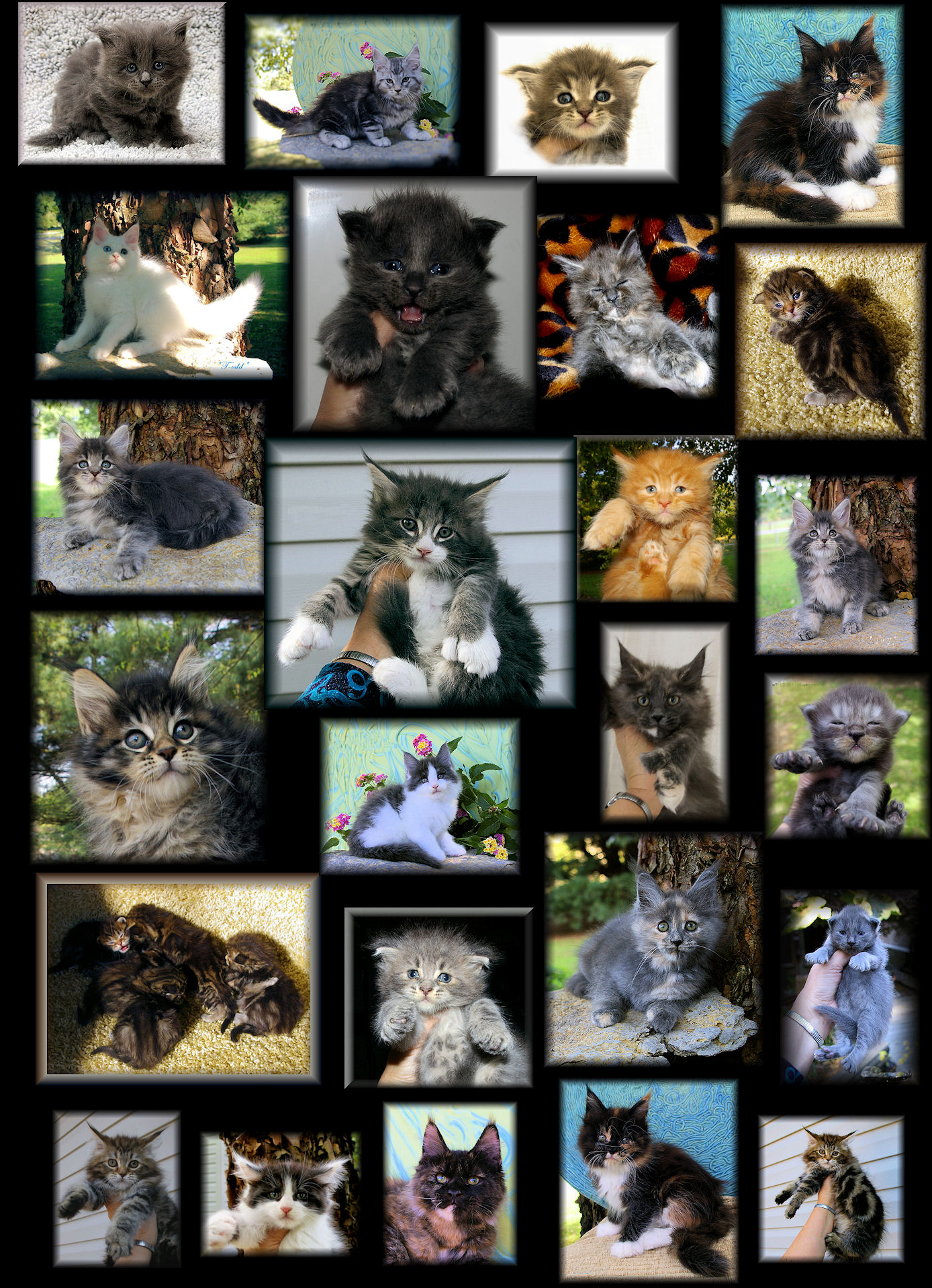 pictures of maine coons