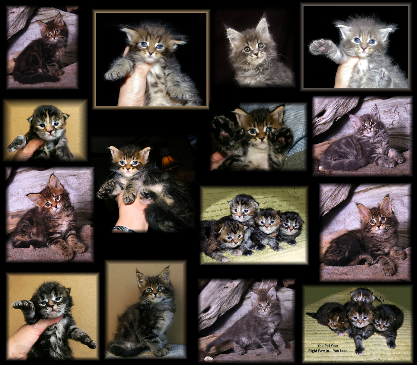 images collage of maine coon kittens