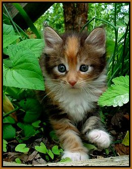 image of a maine coon kitten