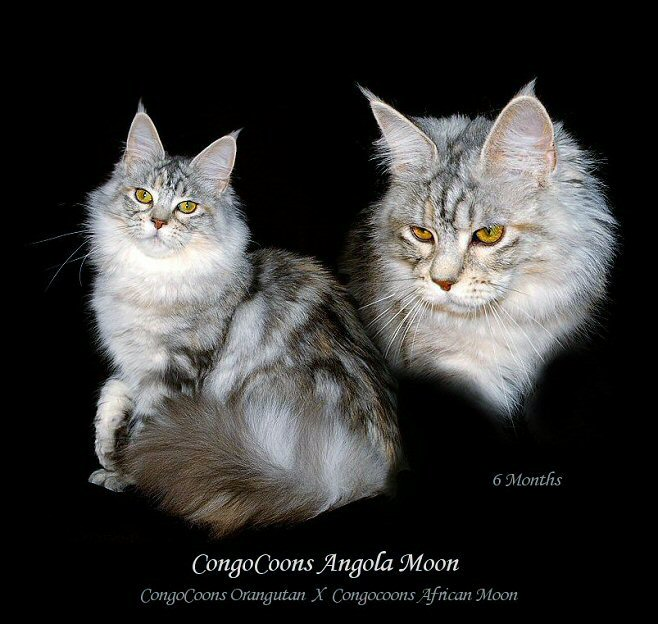 image of a silver maine coon cat