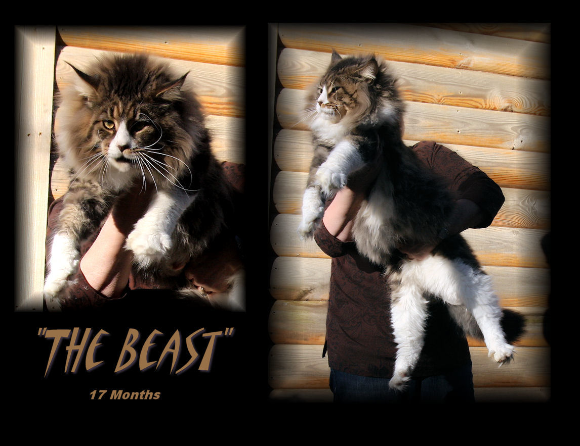 image of a maine coon that is very large