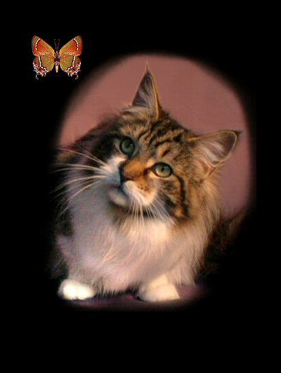 image of a maine coon cat from Alabama
