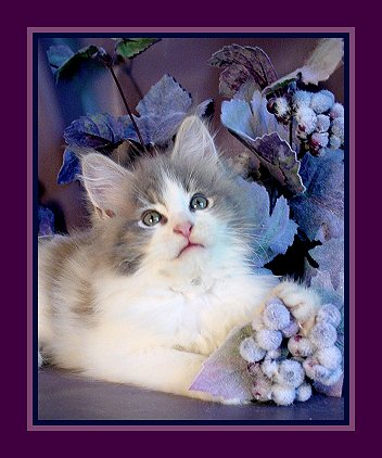 image of a blue and white maine coon kitten with grey flowers