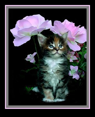 image of a maine coon kitten in flowers