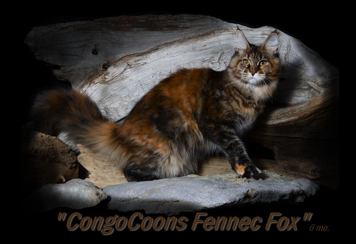 picture of a brown patched maine coon cat