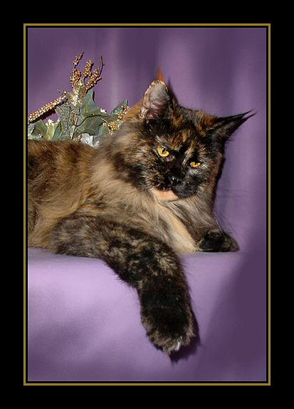 image of a champion maine coon tortie female from congocoon cattery.