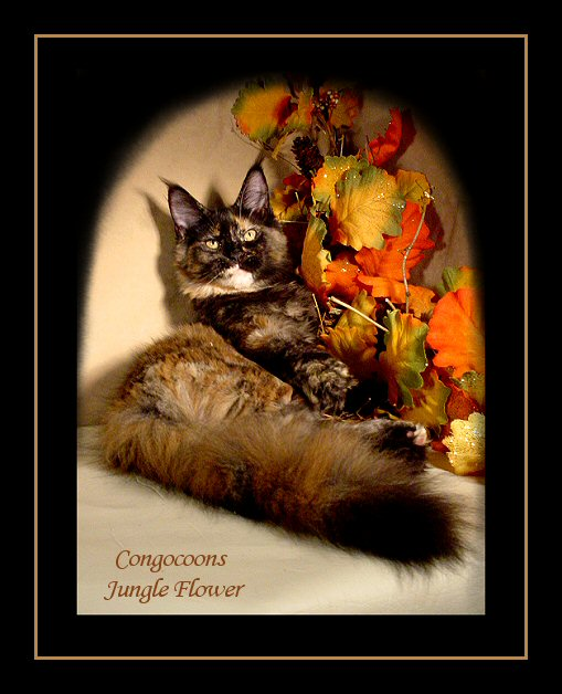 image of a tortie maine coon named flower