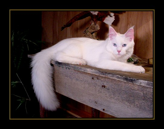 image of a six month old white maine coon kitten
