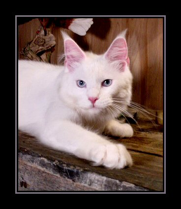 image of a white maine coon kitten