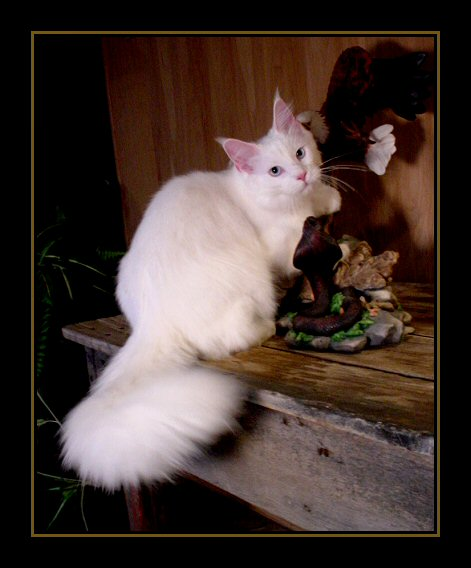 image of a white maine coon