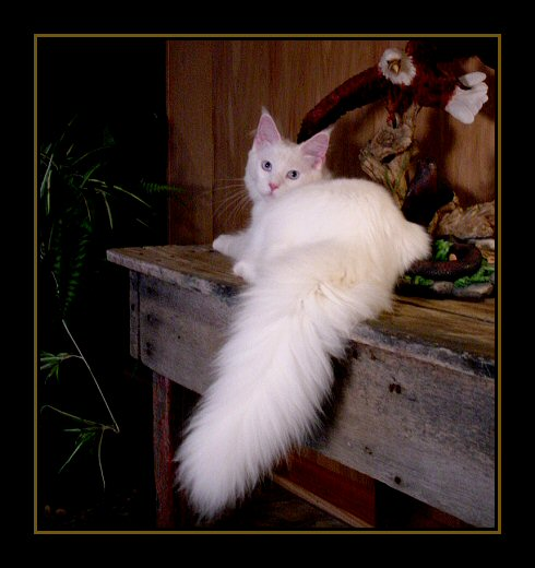 image showing the big tail of a white maine coon kitten