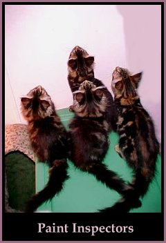 image of maine coon kittens inspecting paint