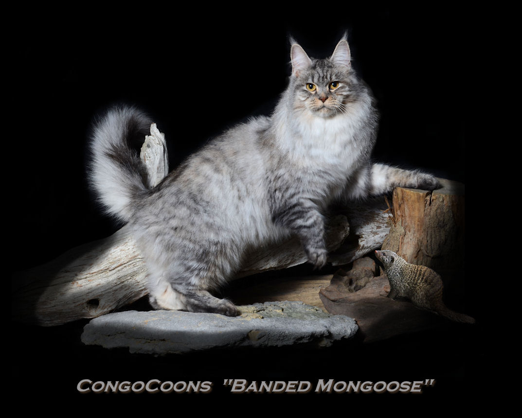 image of a silver tabby maine coon cat with foot up on a stump