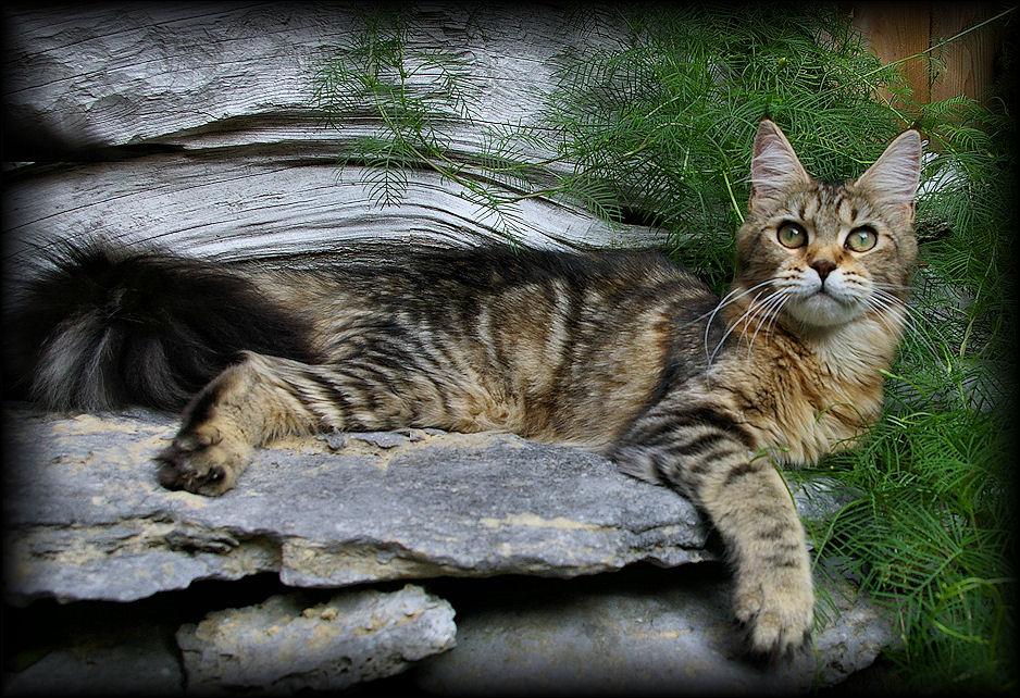 image of a brown tabby maine coon cat named brew