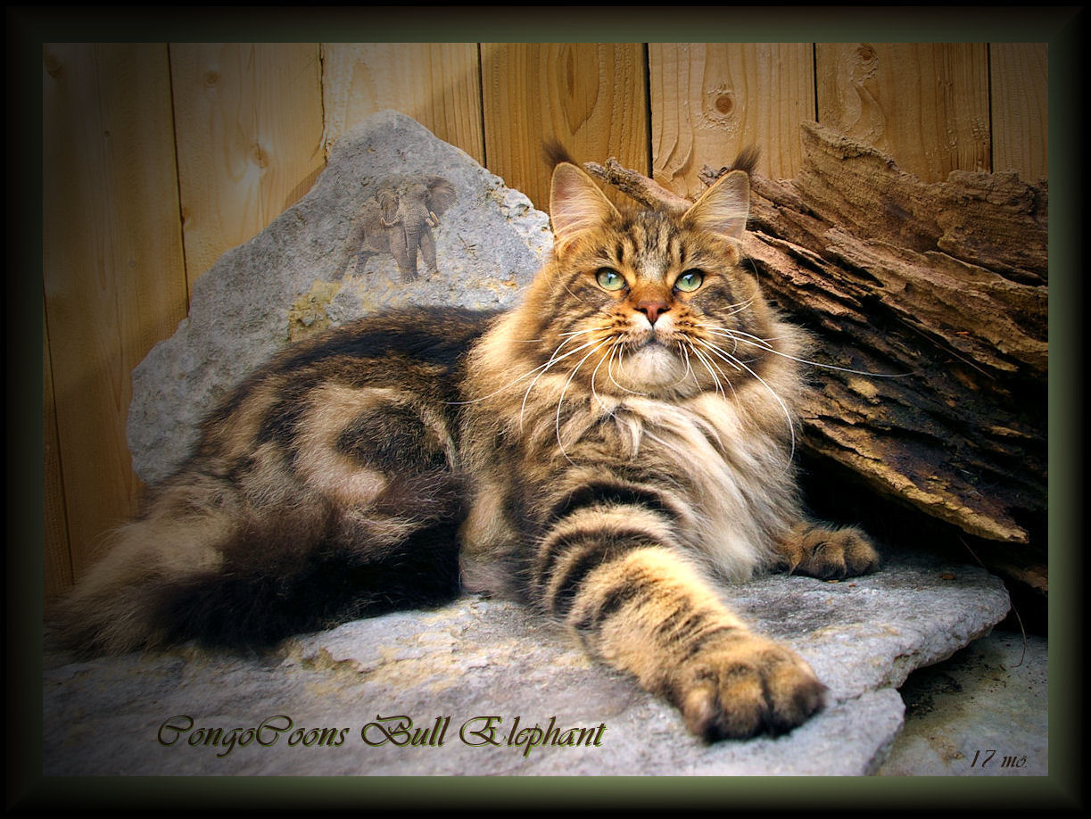 mainecoonbullylights