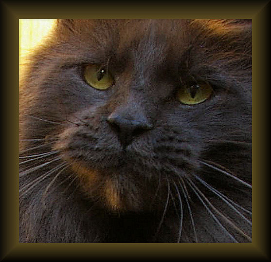 image of a blue smoke poly toed maine coon cat