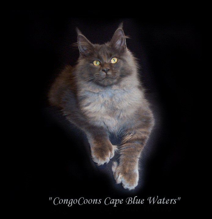 image of a blue smoke maine coon named blue waters