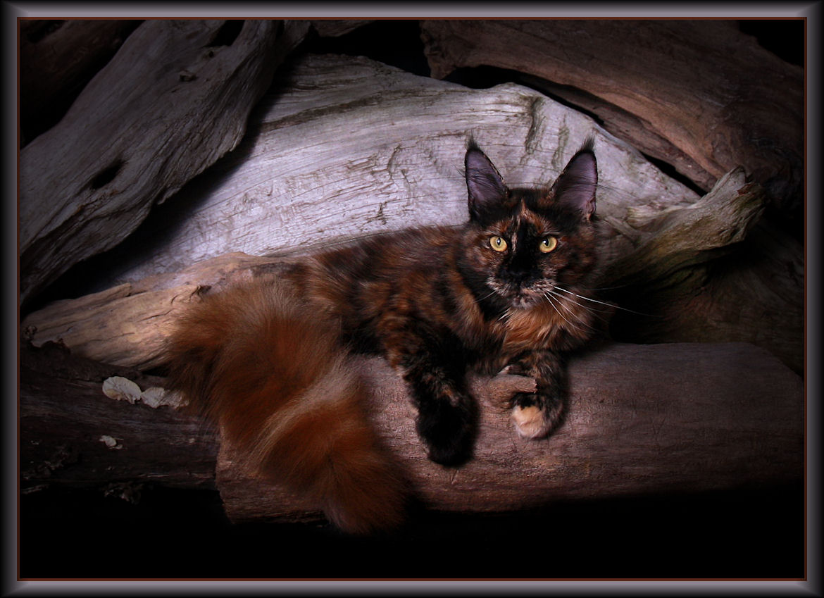 image of a maine coon tortie cat