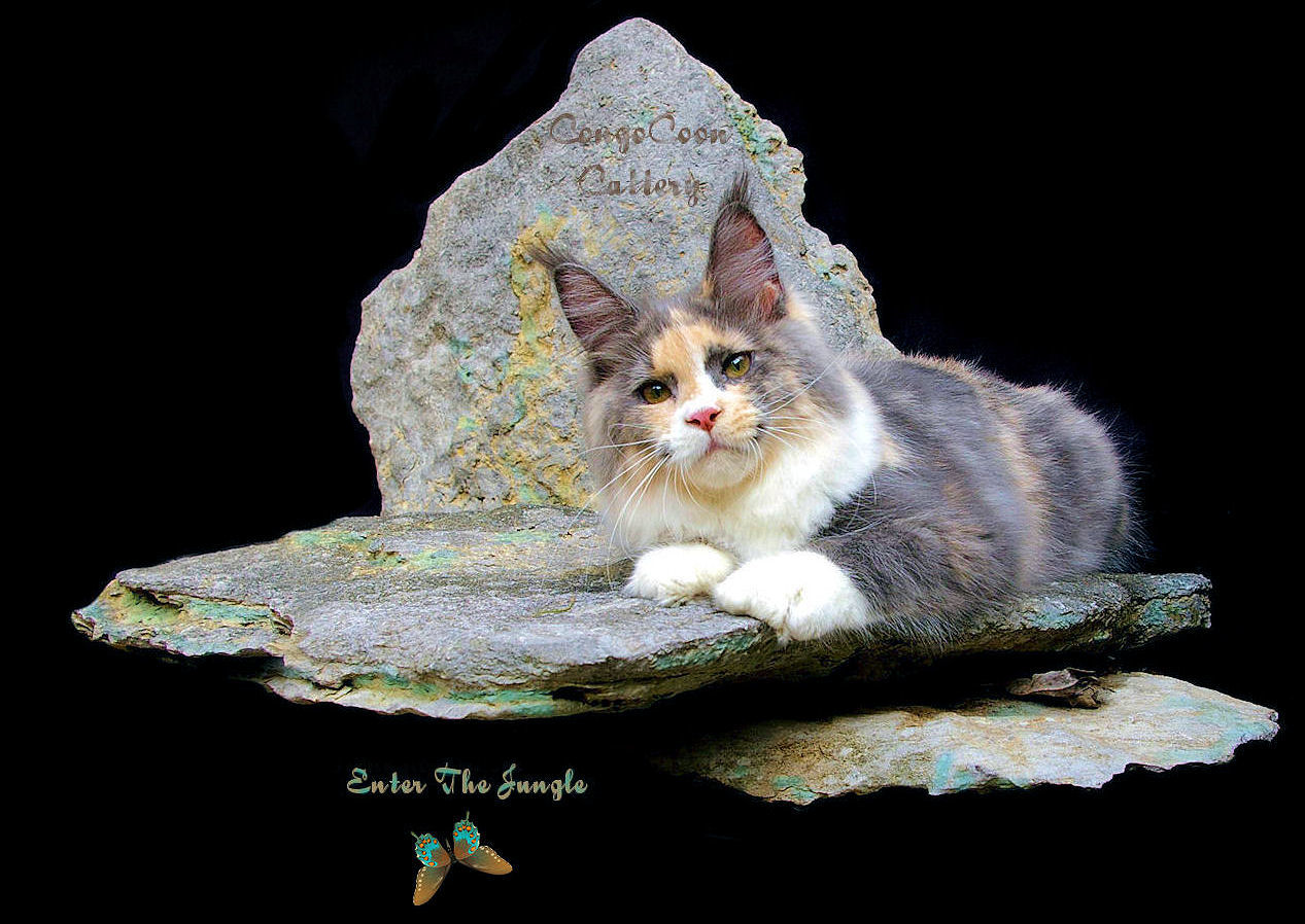smoke tortie maine coon cat laying on rock