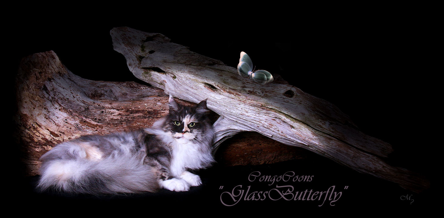 image of a smoke tortie maine coon wth glass butterfly on a log