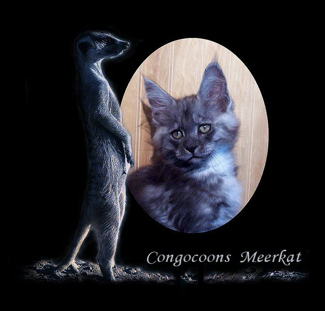 image of a black smoke female maine coon from congocoon cattery