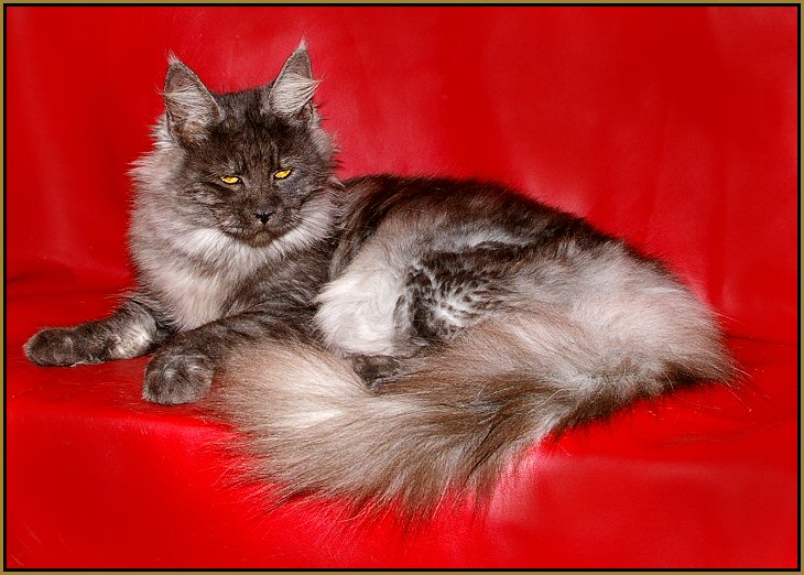 image of a black smoke maine coon cat