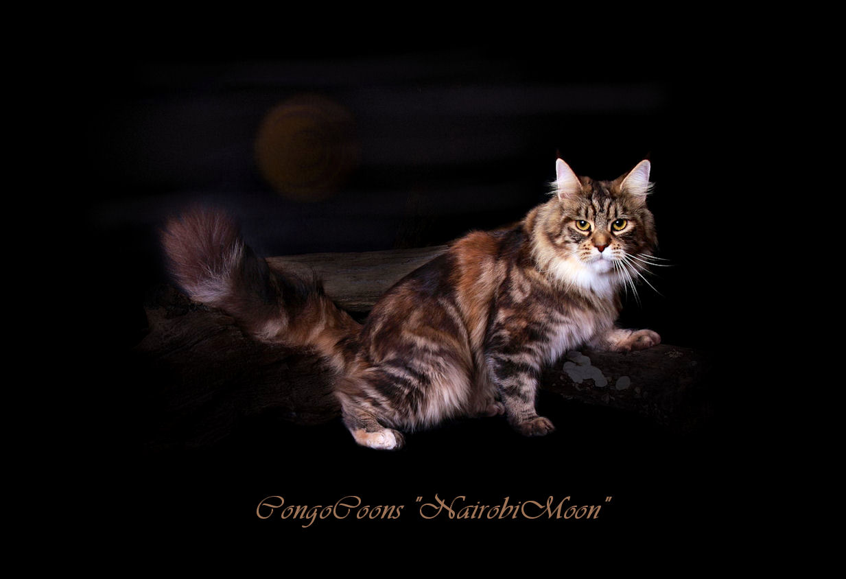 picture of a brown patched female maine coon cat