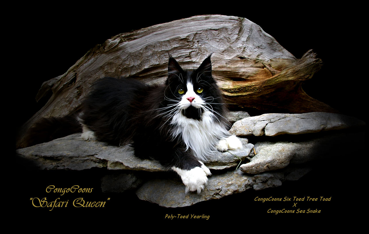 image of a black and white poly toed maine coon cat