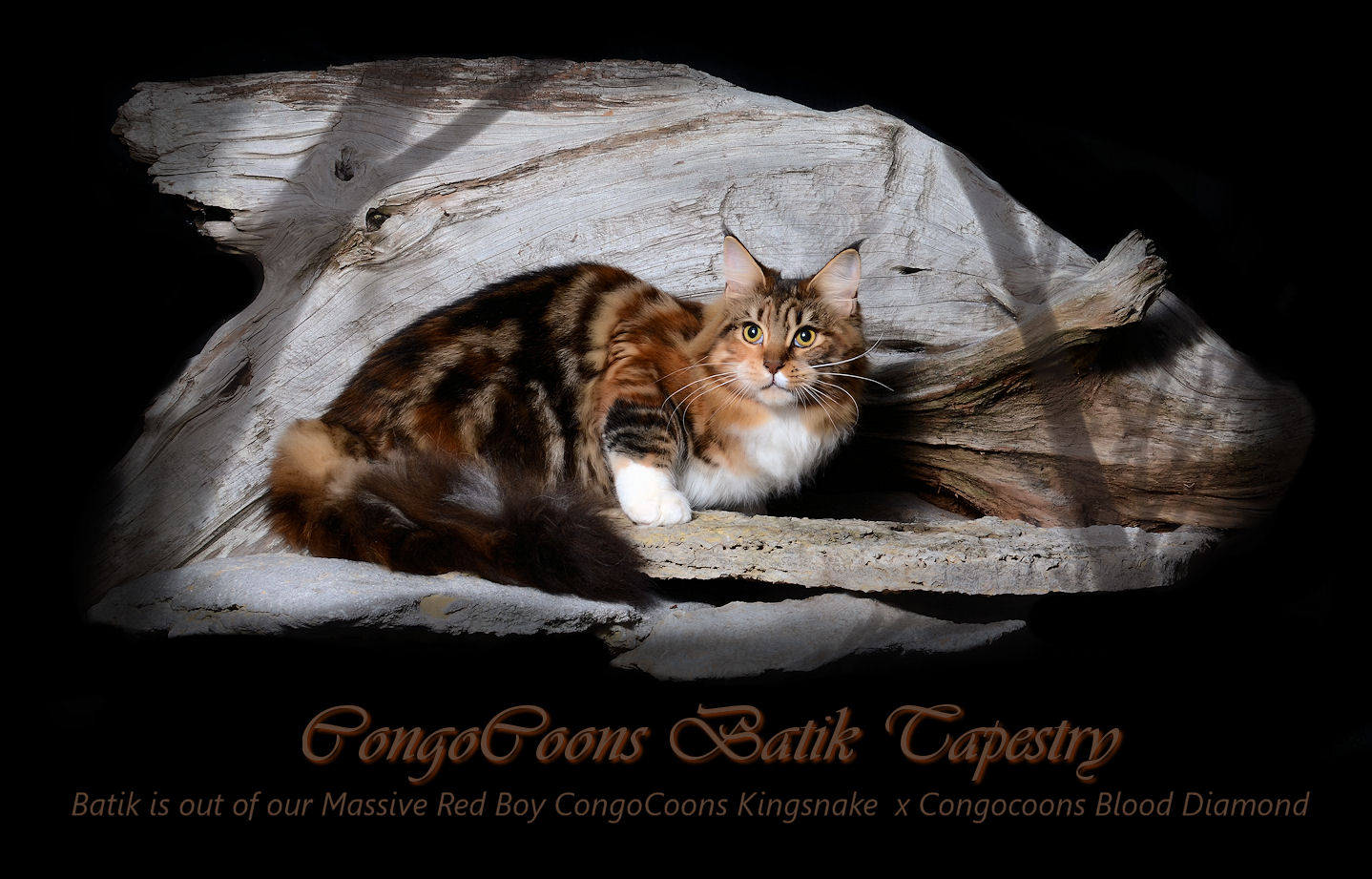 image of a maine coon adult female cat