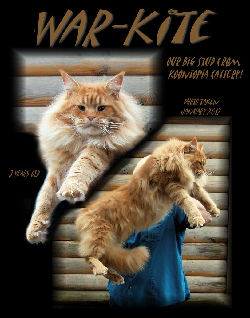 image of a maine coon stud cat that is a red tabby