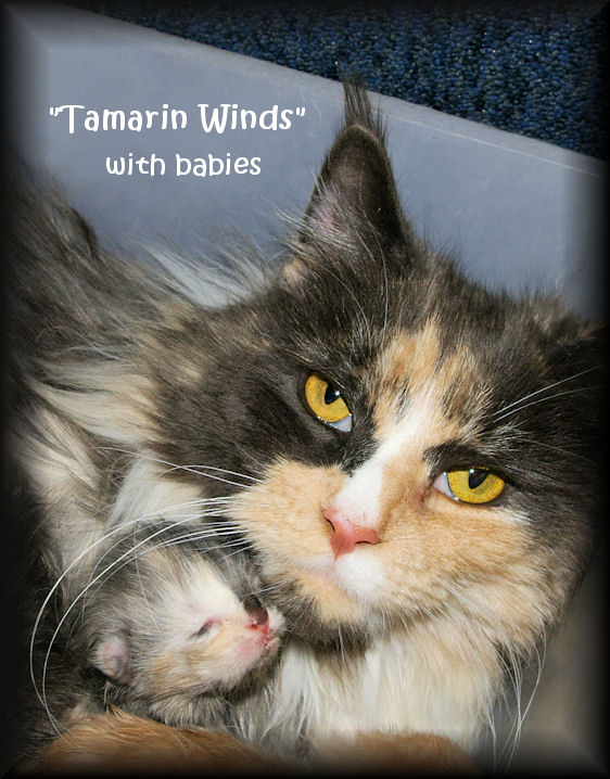 image of a blue smoke tortie and white maine coon cat with baby kitten