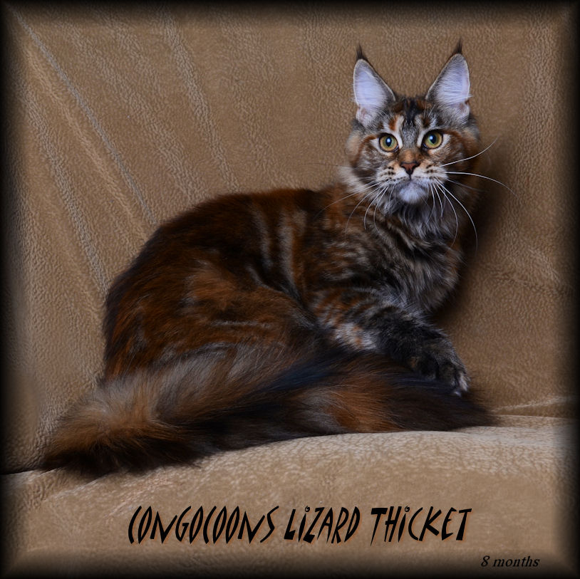 image of a maine coon female cat named lizard thicket