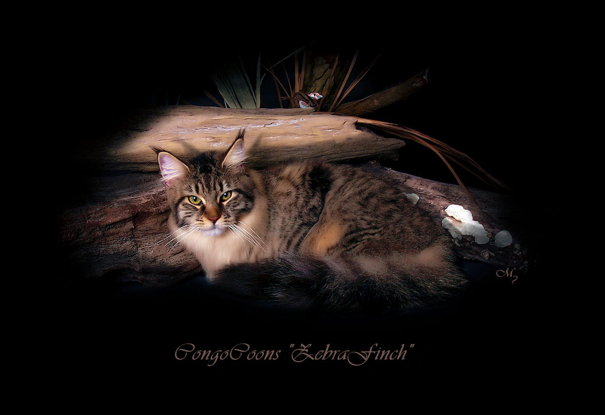 picture of a maine coon cat named finch