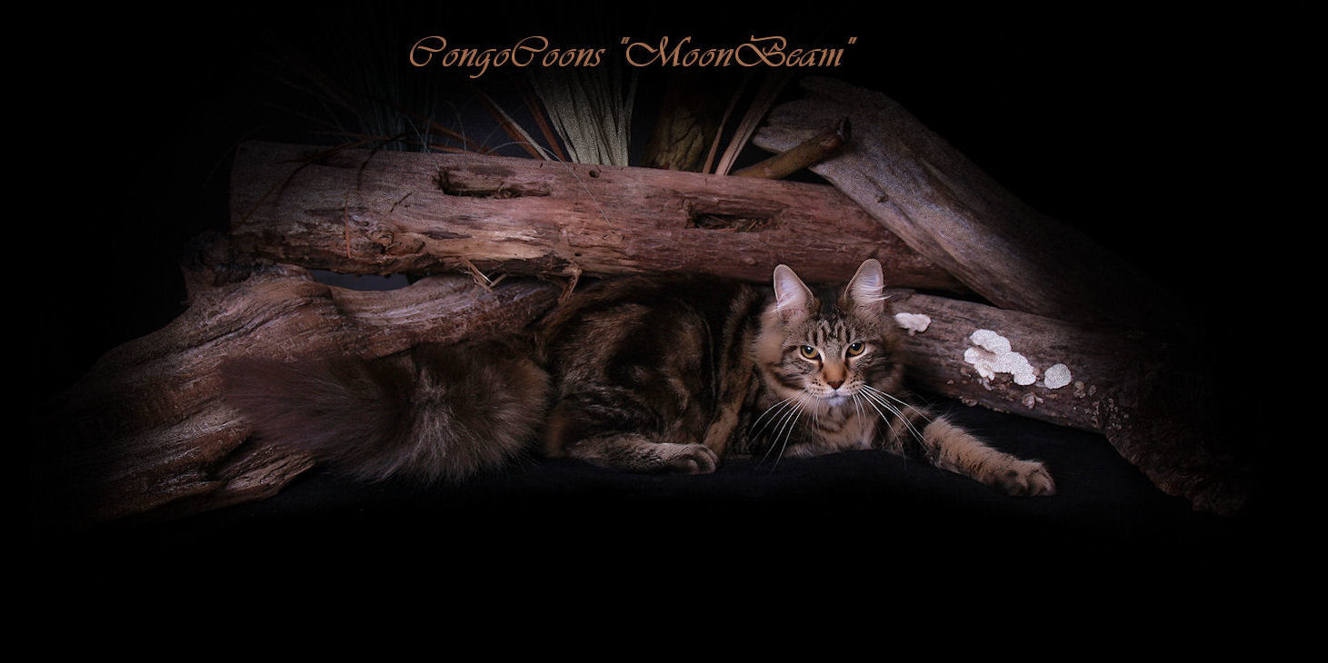 image of a brown tabby maine coon cat