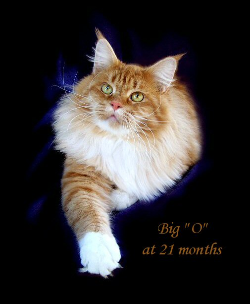 picture of a red maine coon cat