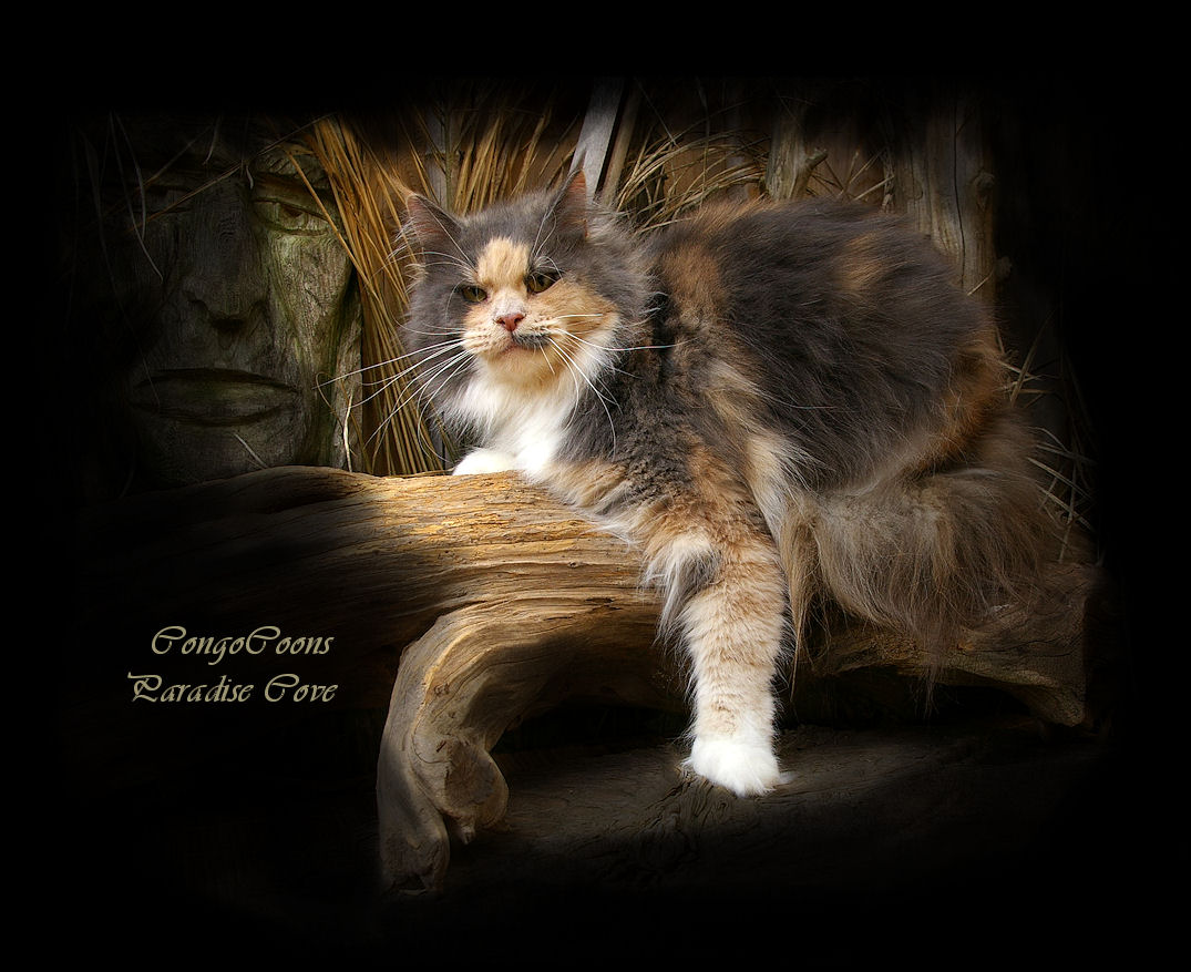 image of a beautiful maine coon named cove