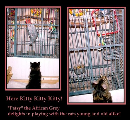 image of maine coon kittens with african grey parrot