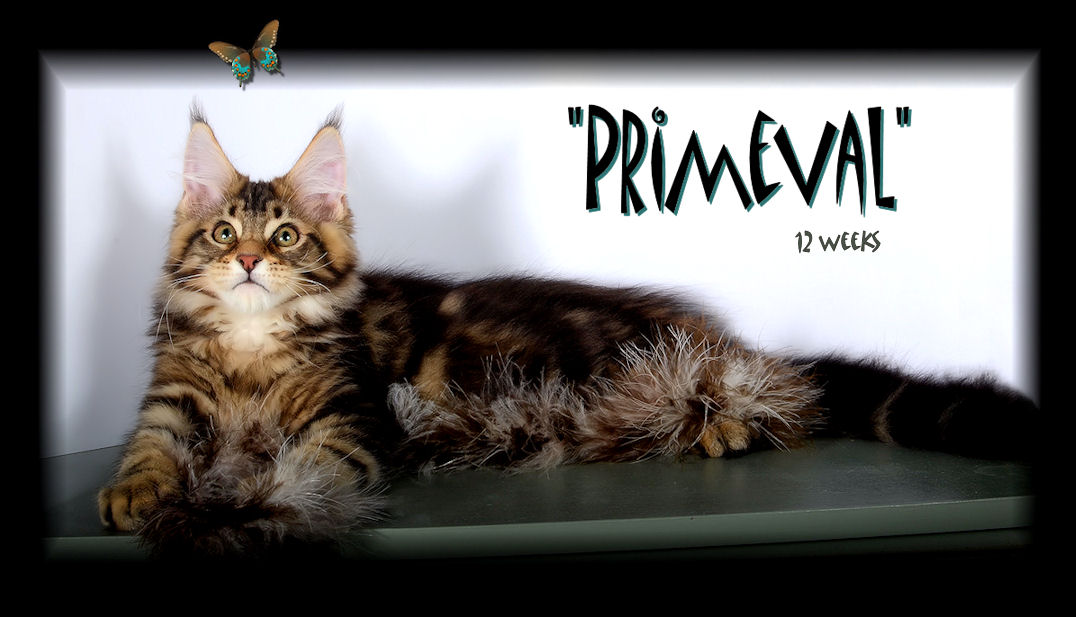 Big Brown Tabby Male Maine Coon in Photograph