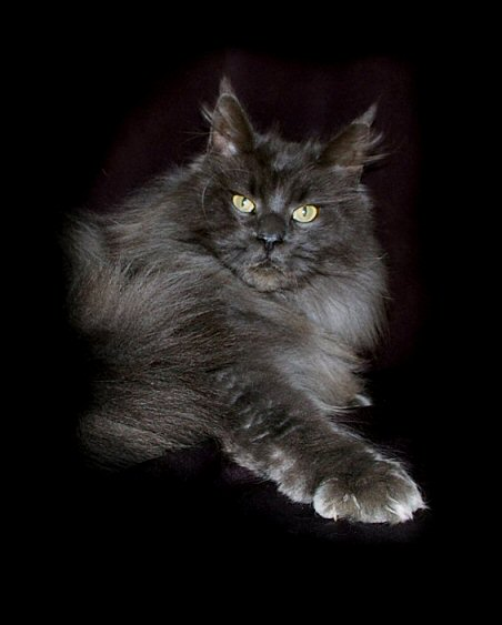 image of a Champion blue smoke maine coon cat