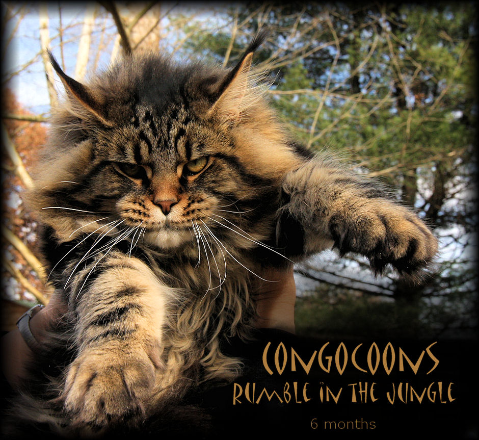 picture of a maine coon kitten