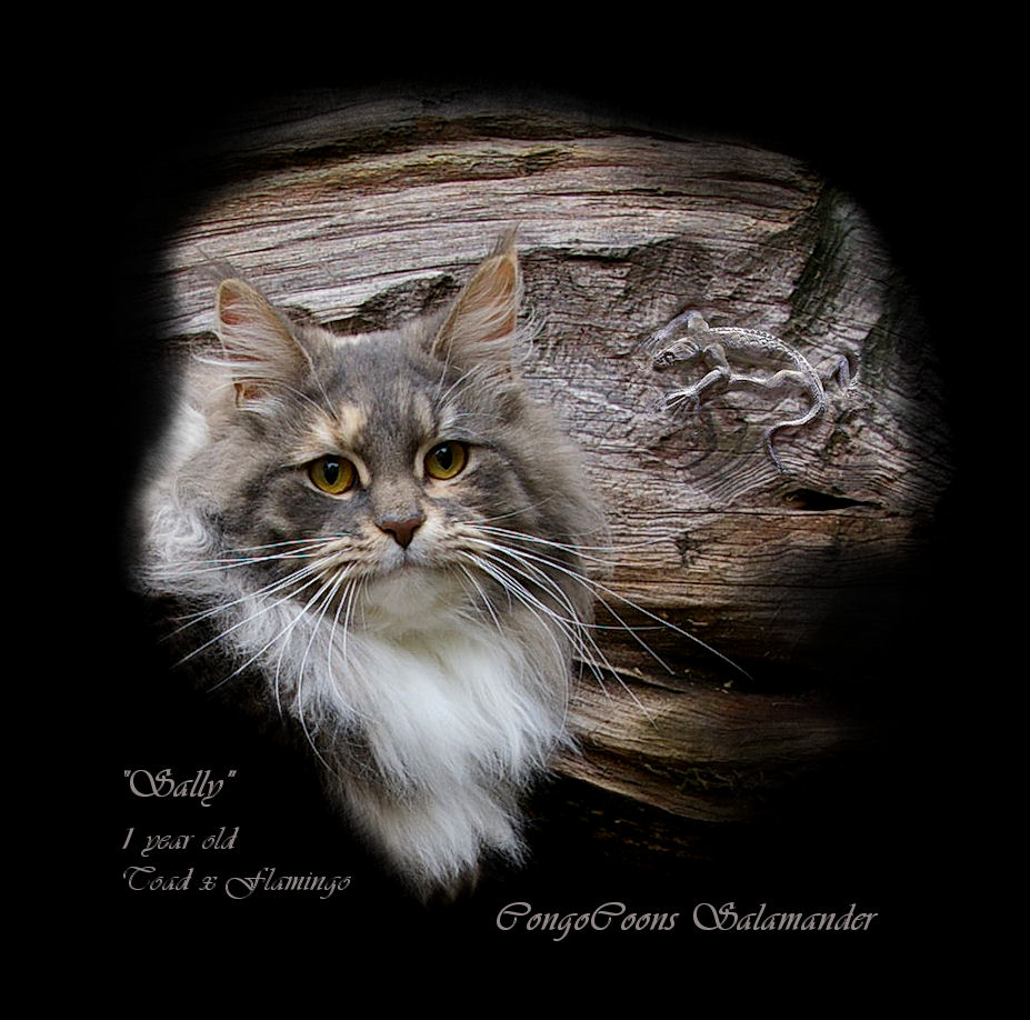 image of a maine coon cat with salamander