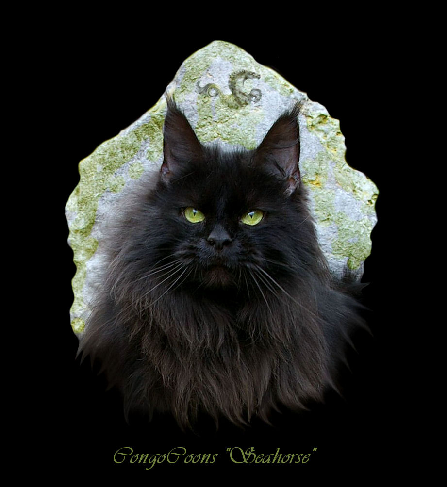 image of a black maine coon named seahorse with etched rock