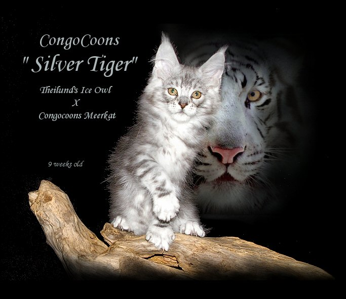 image of a silver stud cat names tiger